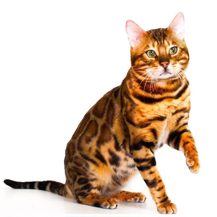 Cattery Superior Bengal