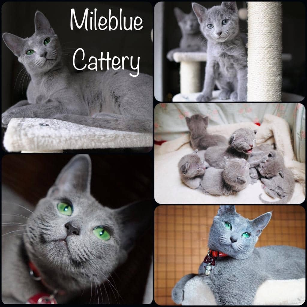 Mileblue Cattery
